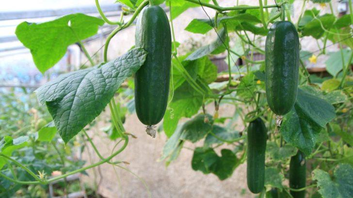 u-okurek-zastipujeme-hlavni-vyhony-aby-dochazelo-k-vetveni-rostlin-728x409.jpg
