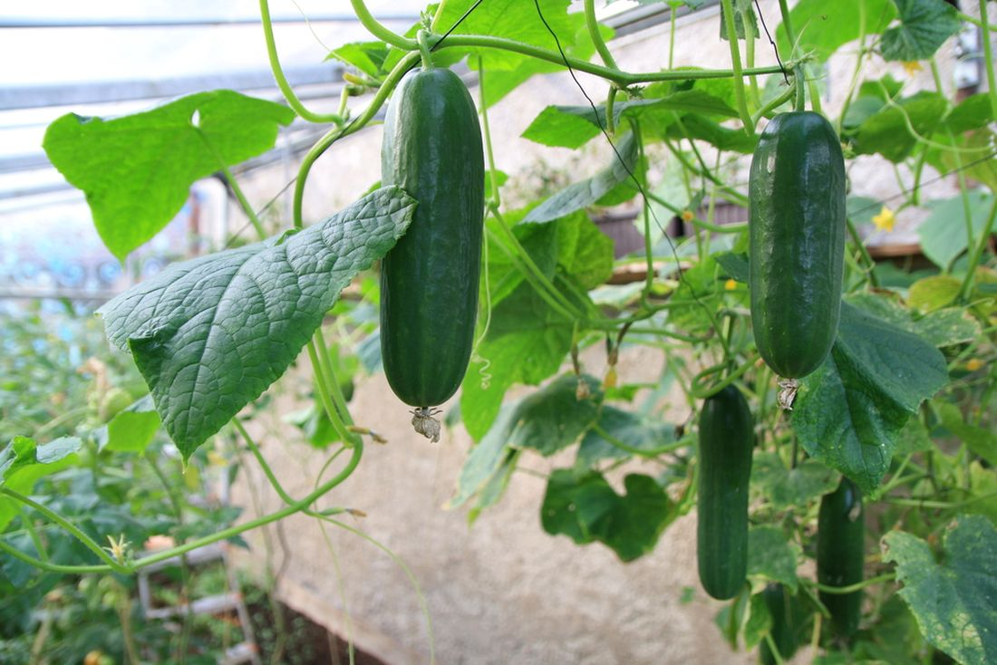 u-okurek-zastipujeme-hlavni-vyhony-aby-dochazelo-k-vetveni-rostlin.jpg