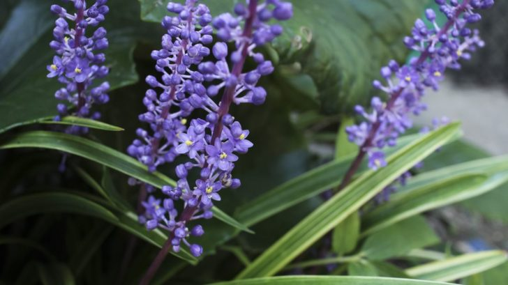 liriope-liriope-muscari--728x409.jpg