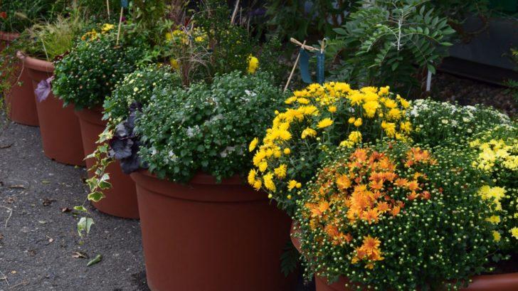 listopadky-jsou-podzimni-klasikou-ktere-kvete-az-do-prvnich-mrazu-728x409.jpg