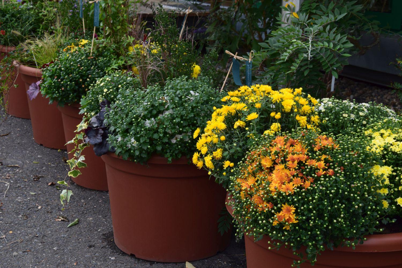 listopadky-jsou-podzimni-klasikou-ktere-kvete-az-do-prvnich-mrazu.jpg