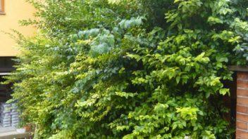 mnoho-zahradkaru-si-na-zahrade-naplanuje-zive-ploty-o-ktere-se-pak-nestihaji-starat-352x198.jpg