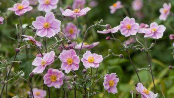 sasanka-zahradni-anemomne-hybrida-352x198.jpg