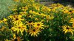 trapatka-zariva-je-hezka-nejen-v-dobe-kvetu-po-odkvetu-jsou-zajimave-i-jeji-semeniky-144x81.jpg