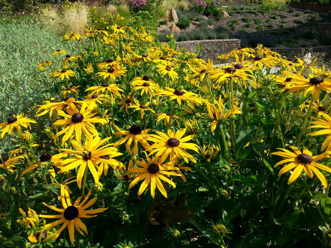 trapatka-zariva-je-hezka-nejen-v-dobe-kvetu-po-odkvetu-jsou-zajimave-i-jeji-semeniky.jpg
