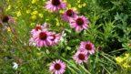 trapatkovka-nachova-kvete-do-podzimu-144x81.jpg