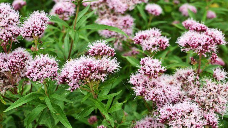 valeriana-officinalis-728x409.jpg