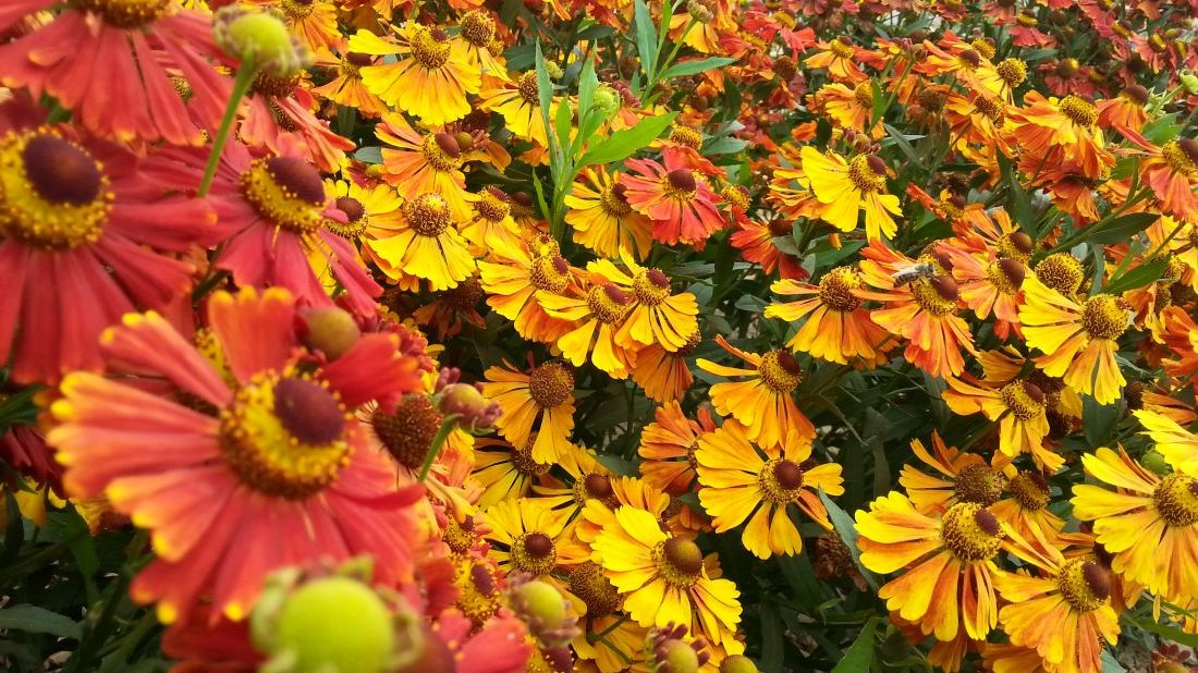 zaplevak-podzimni-kvete-i-v-prubehu-zari-ci-rijna-zalezi-na-kultivaru-1100x618.jpg
