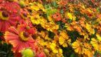 zaplevak-podzimni-kvete-i-v-prubehu-zari-ci-rijna-zalezi-na-kultivaru-144x81.jpg