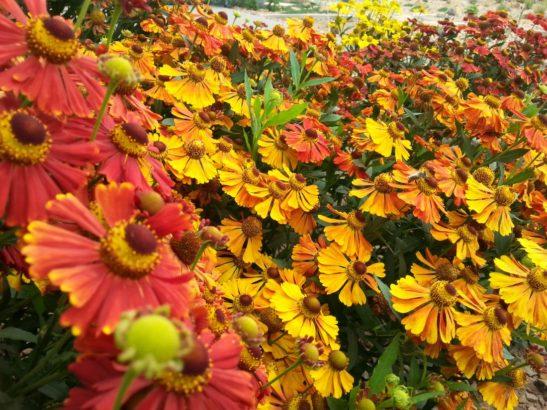 zaplevak-podzimni-kvete-i-v-prubehu-zari-ci-rijna-zalezi-na-kultivaru-547x410.jpg
