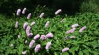 bistorta-officinalis-persicaria-bistorta-144x81.jpg