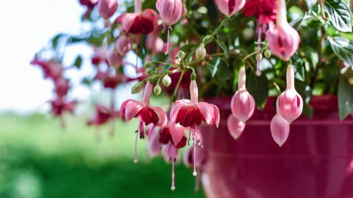 fuchsie-jsou-doslova-slecinky-mezi-kvetinami-bez-pravidelne-pece-se-rozhodne-neobejdou-jsou-casto-nachylne-na-skudce-a-jsou-narocne-i-na-podminky-prezimovani-728x409.jpg