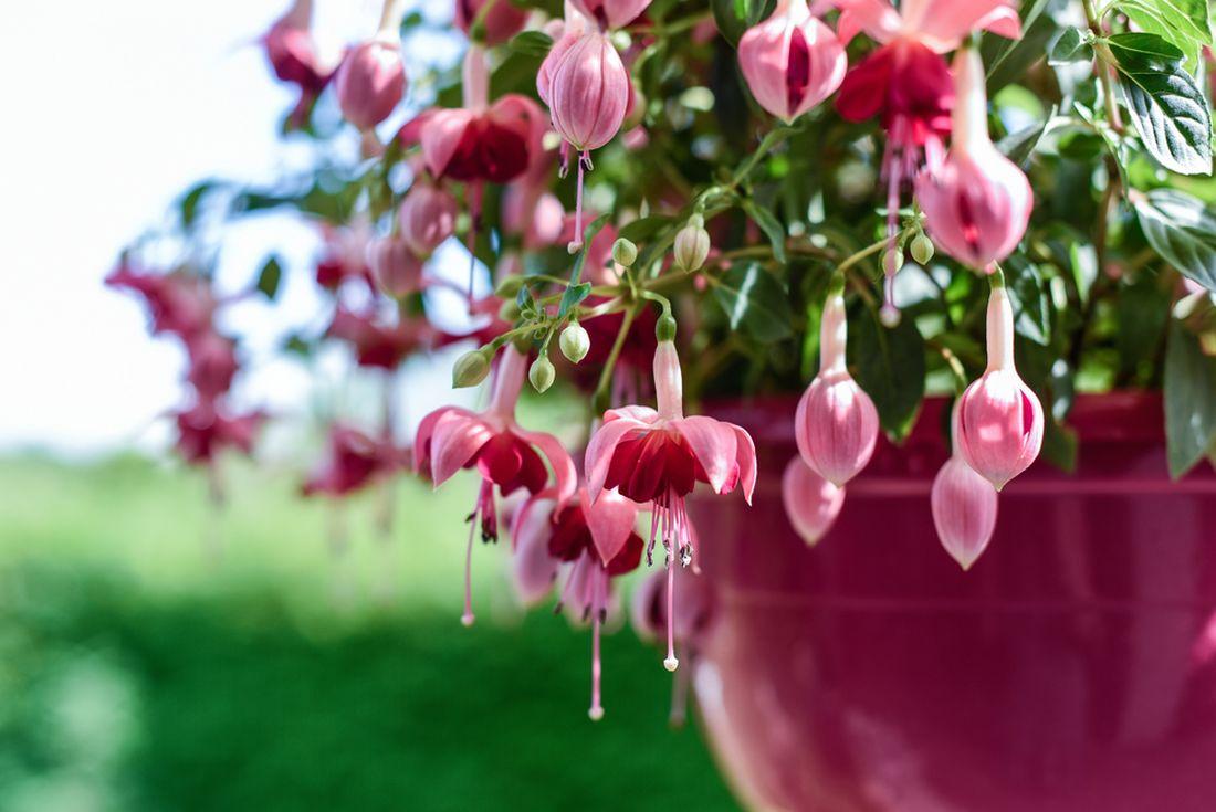 fuchsie-jsou-doslova-slecinky-mezi-kvetinami-bez-pravidelne-pece-se-rozhodne-neobejdou-jsou-casto-nachylne-na-skudce-a-jsou-narocne-i-na-podminky-prezimovani.jpg