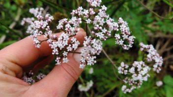 kozlikove-kvety-jsou-bile-nebo-ruzove-zbarvene-a-v-plnem-kvetu-silne-voni-352x198.jpg