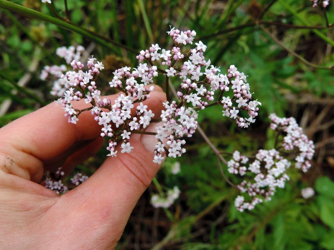 kozlikove-kvety-jsou-bile-nebo-ruzove-zbarvene-a-v-plnem-kvetu-silne-voni.jpg