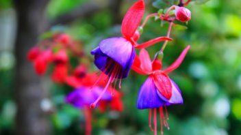 kvety-fuchsii-pusobi-lehkym-dojmem-352x198.jpg