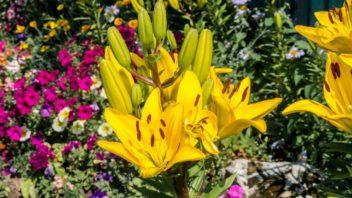 lilie-jednoznacne-patri-mezi-nejkrasnejsi-hliznate-rostliny-352x198.jpg