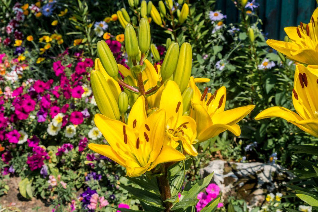 lilie-jednoznacne-patri-mezi-nejkrasnejsi-hliznate-rostliny.jpg