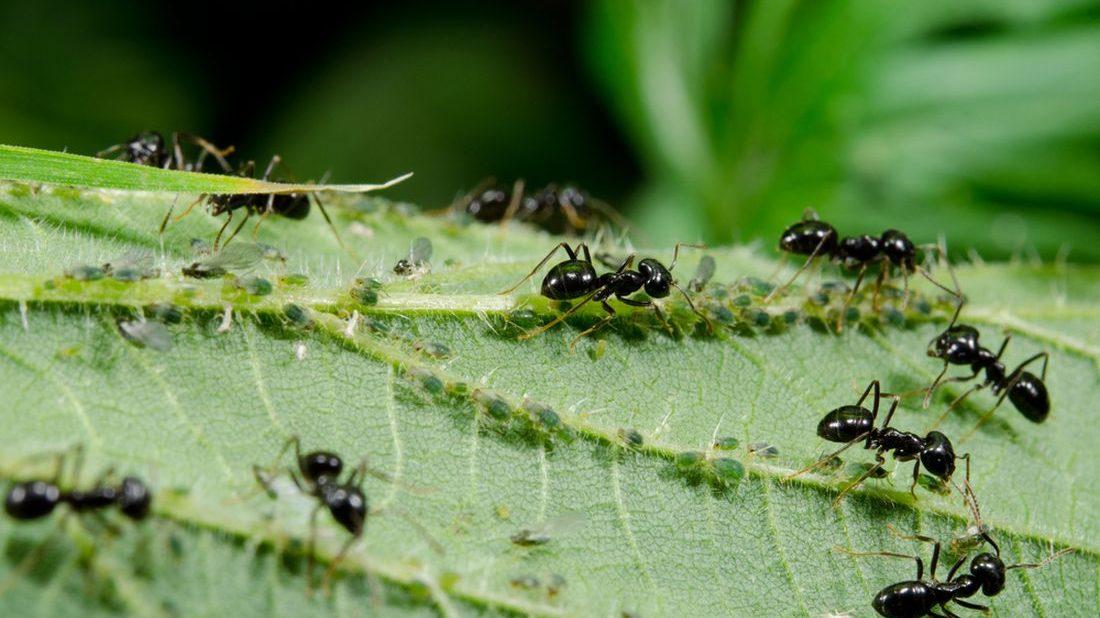 mravenci-ziji-v-symbioze-se-msicemi-a-dokonce-si-tento-obtizny-hmyz-i-cilene-pestuji-1100x618.jpg