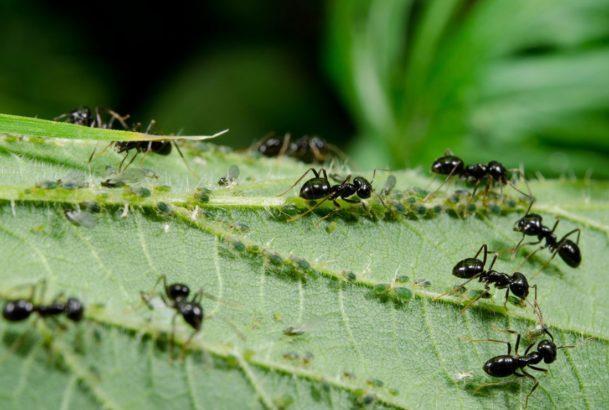 mravenci-ziji-v-symbioze-se-msicemi-a-dokonce-si-tento-obtizny-hmyz-i-cilene-pestuji-609x410.jpg