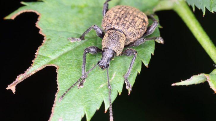 nosatci-se-zivi-listy-rostlin.-do-teto-skupiny-hmyzu-patri-take-lalokonosec-ryhovany.-nebezpecne-jsou-i-jeho-larvy-728x409.jpg