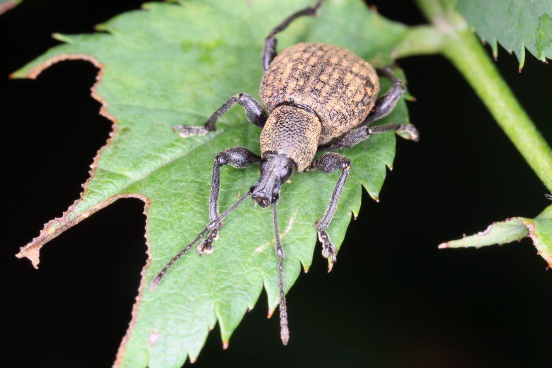 nosatci-se-zivi-listy-rostlin.-do-teto-skupiny-hmyzu-patri-take-lalokonosec-ryhovany.-nebezpecne-jsou-i-jeho-larvy.jpg