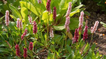 rdesna-kvetou-v-mnoha-odstinech-ruzove-az-fialove-barvy-352x198.jpg