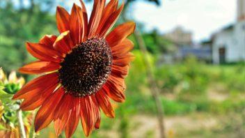 slunecnice-rocni-cervena-352x198.jpg