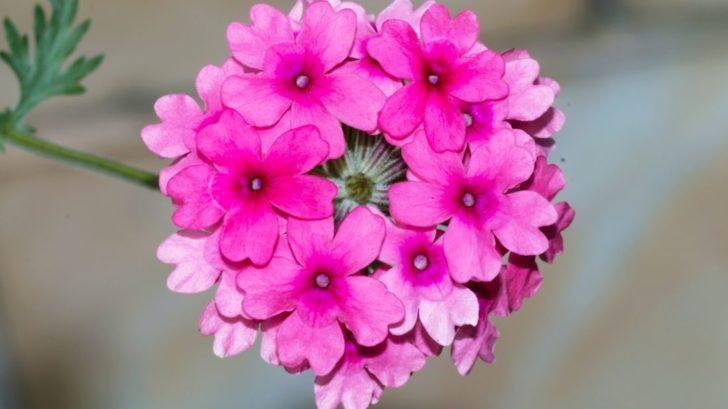 sporys-zahradni-kultivar-verbena-hybrida-2-728x409.jpg