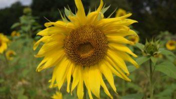 ze-semeniku-slunecnic-si-ptaci-sami-seminka-vyzobou-352x198.jpg