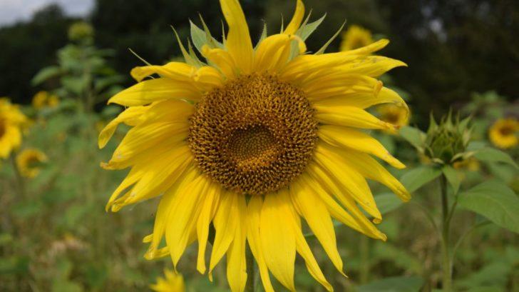 ze-semeniku-slunecnic-si-ptaci-sami-seminka-vyzobou-728x409.jpg
