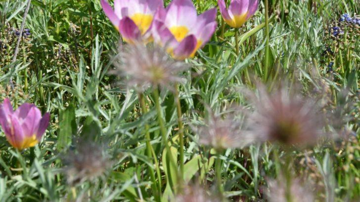 botanicke-druhy-tulipanu-jsou-vhodne-i-do-skalek.-728x409.jpg