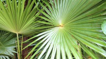 listy-palmy-washingtonia-robusta-352x198.jpg
