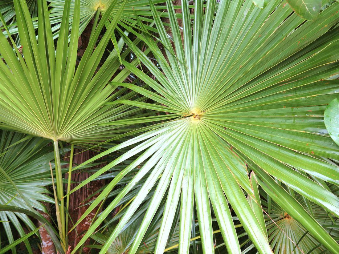 listy-palmy-washingtonia-robusta.jpg