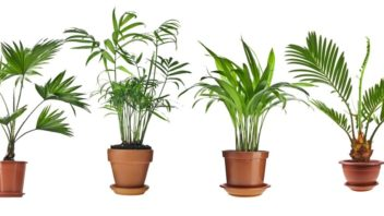 livistona-rotundifolia-howea-chrysalidocarpus-lutescens-cycas-revolu-352x198.jpg
