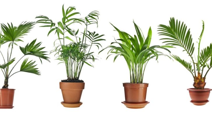 livistona-rotundifolia-howea-chrysalidocarpus-lutescens-cycas-revolu-728x409.jpg
