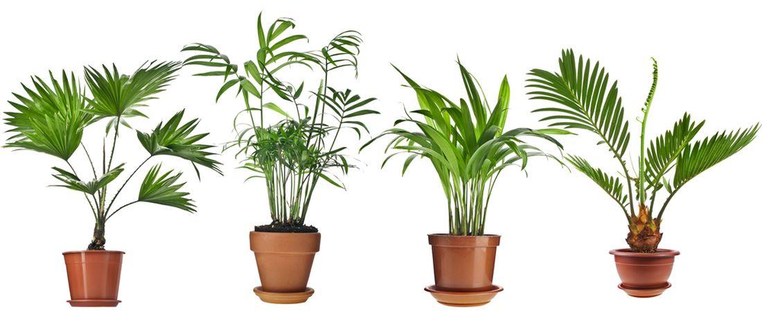 livistona-rotundifolia-howea-chrysalidocarpus-lutescens-cycas-revolu.jpg