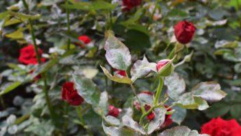 mezi-nejcastejsi-skupinu-chorob-u-zahradnich-rostlin-pocitame-ruzne-druhy-hub-352x198.jpg