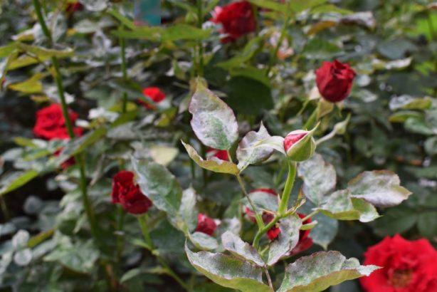 mezi-nejcastejsi-skupinu-chorob-u-zahradnich-rostlin-pocitame-ruzne-druhy-hub-614x410.jpg
