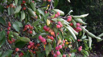okrasna-jablon-je-oblibena-u-plodozravych-druhu.-352x198.jpg