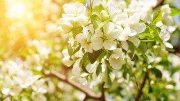 bohata-nasada-kvetu-je-prvni-predpoklad-dobre-urody-352x198.jpg