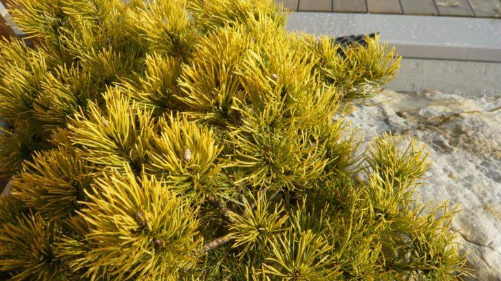 borovice-klec-winter-gold-na-zimu-prebarvuje-jehlice-do-zlate-barvy.-728x409.jpg