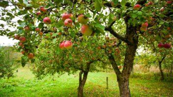 ovocny-sad-plny-jabloni-352x198.jpg