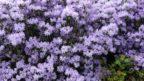penisnik-obtizeny-je-typicky-fialove-modrymi-kvety-jsou-ale-dostupne-i-kultivary-s-jinymi-odstiny.-144x81.jpg