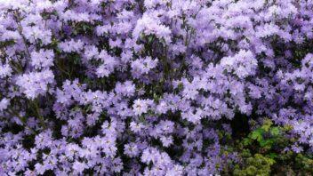 penisnik-obtizeny-je-typicky-fialove-modrymi-kvety-jsou-ale-dostupne-i-kultivary-s-jinymi-odstiny.-352x198.jpg
