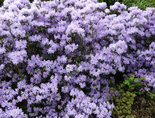 penisnik-obtizeny-je-typicky-fialove-modrymi-kvety-jsou-ale-dostupne-i-kultivary-s-jinymi-odstiny.-537x410.jpg
