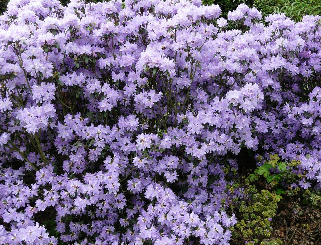 penisnik-obtizeny-je-typicky-fialove-modrymi-kvety-jsou-ale-dostupne-i-kultivary-s-jinymi-odstiny..jpg