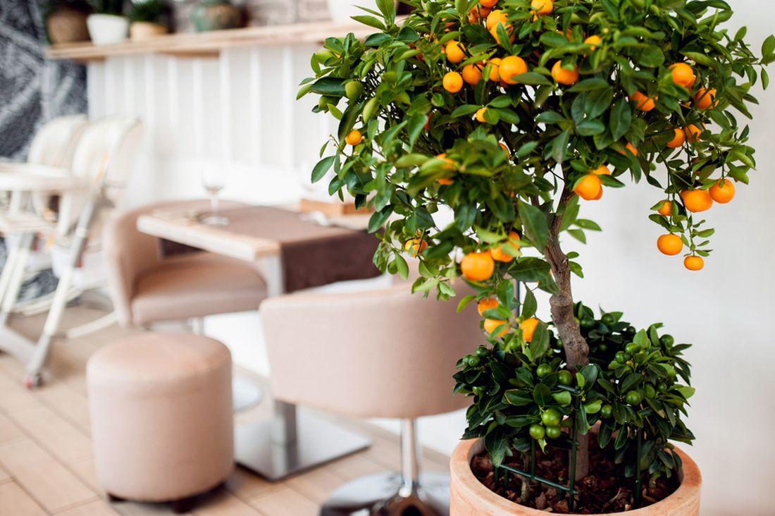 Zima je sezonou sladkých pomerančů