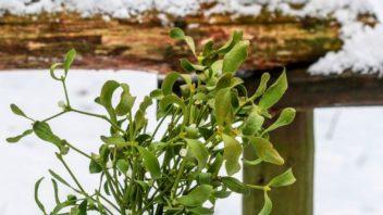 jmeli-jako-ozdoba-zahrady-proc-ne-vydrzi-i-mrazy-a-stale-bude-krasne-zelene-352x198.jpg