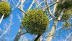 jmeli-je-sice-na-pohled-kouzelne-ale-jedna-se-vlastne-o-poloparazitickou-rostlinu-ktera-oslabuje-napadenou-drevinu-144x81.jpg